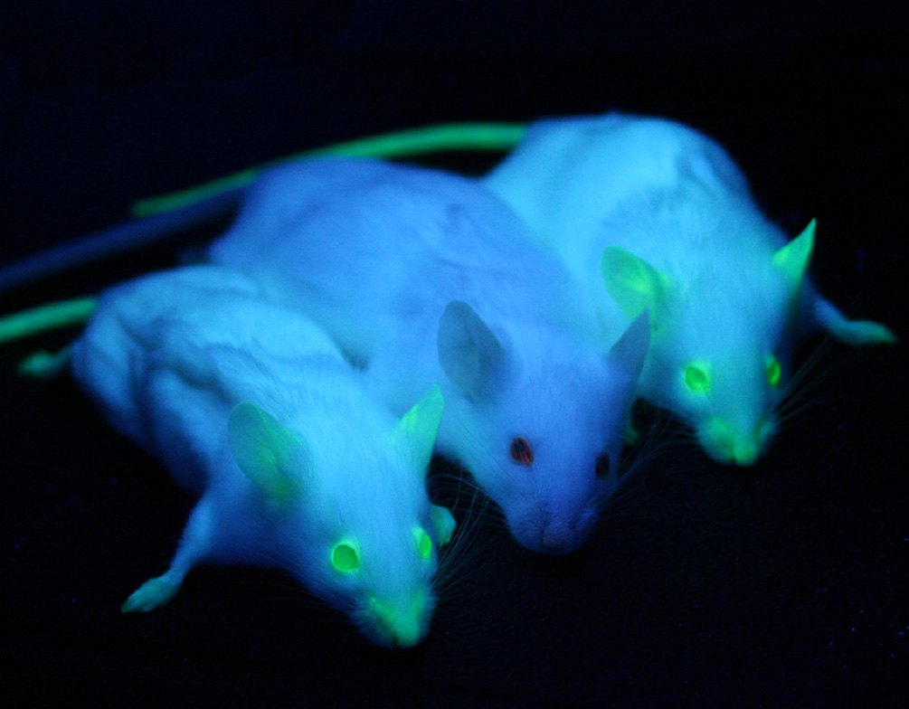 Image source: https://commons.wikimedia.org/wiki/File:GFP_Mice_01.jpg